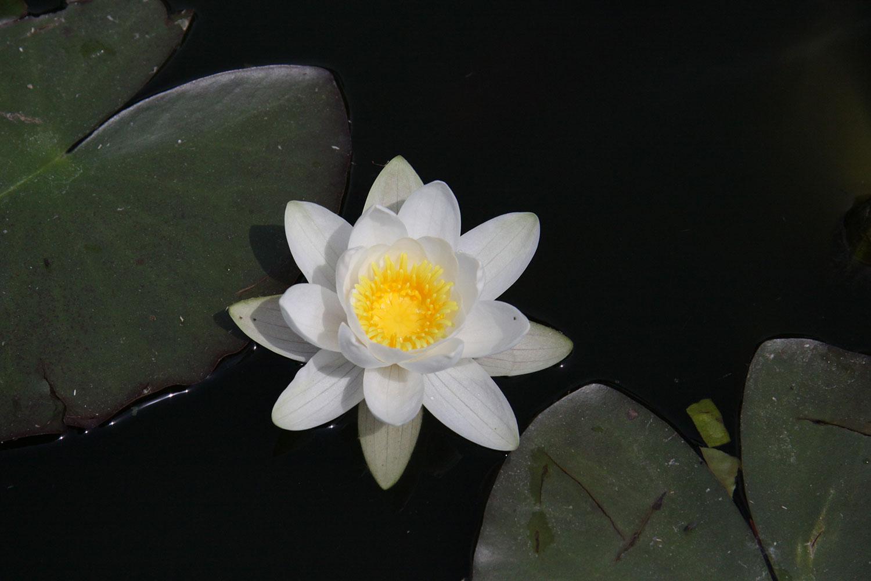 Ninfea alba - Nymphaea Alba