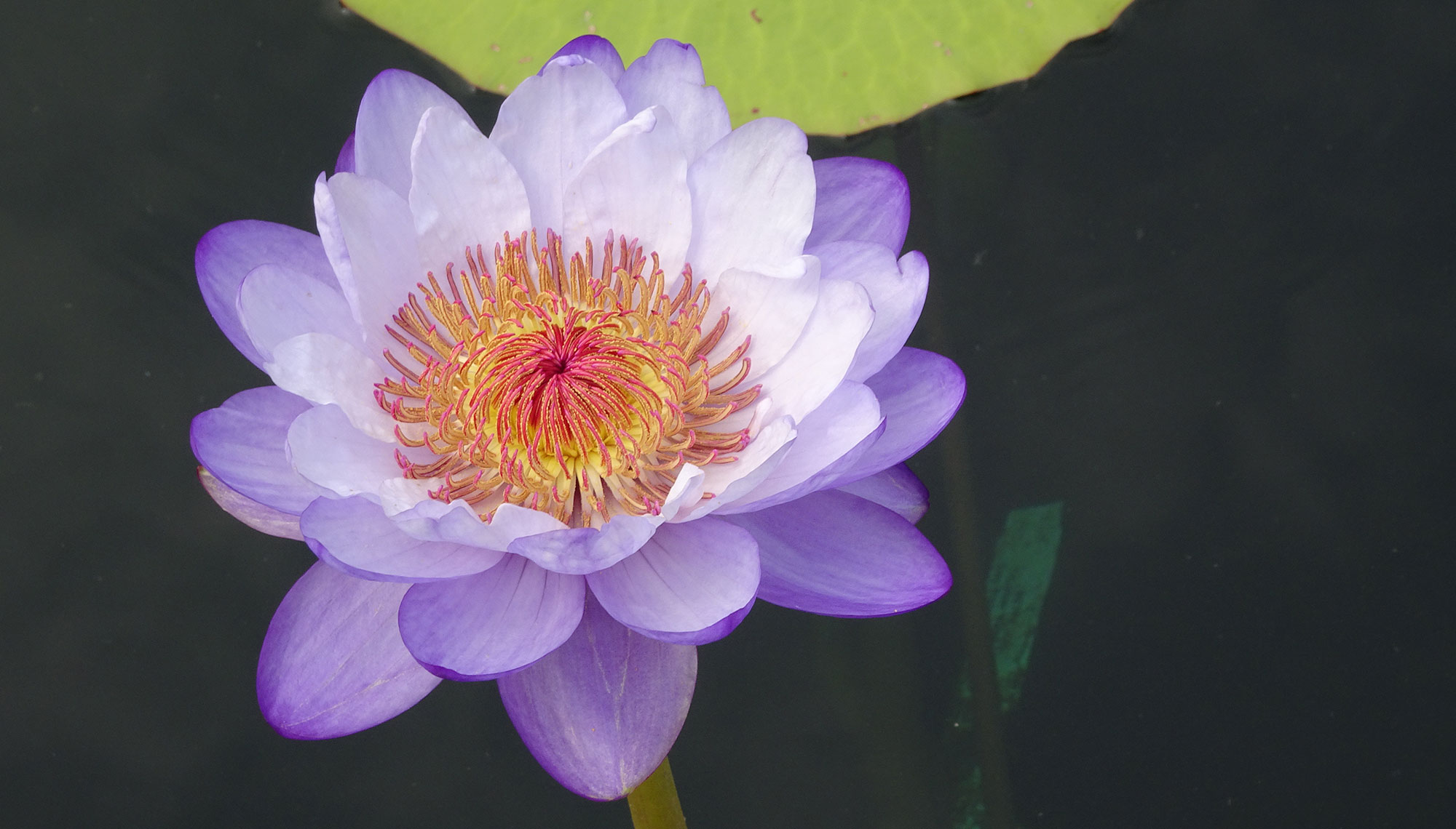 Betty Lou, Rich Sacher, American Aquatic Gardens