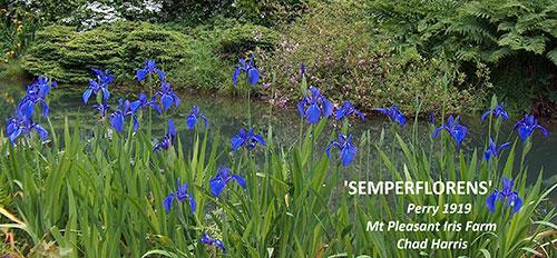 Iris Laevigata semperflorens