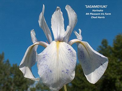 Iris Laevigata sasemeyuki chad harris Mtpleasantiris