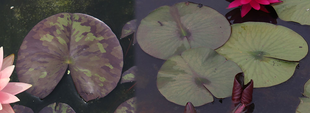 Leaves of waterlilies, different varieties.