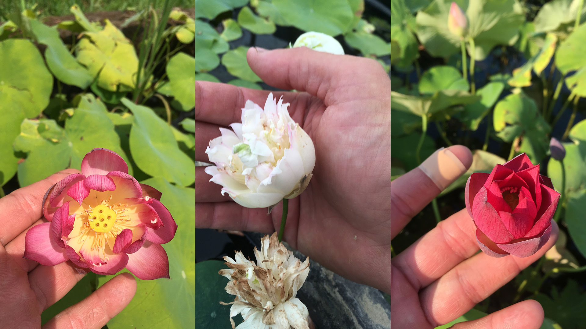harvest and divide lotus rhizome