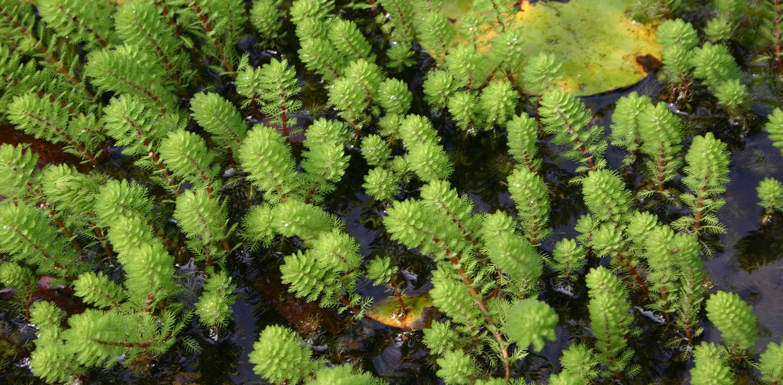 Myriophyllum aquaticum brasiliensis
