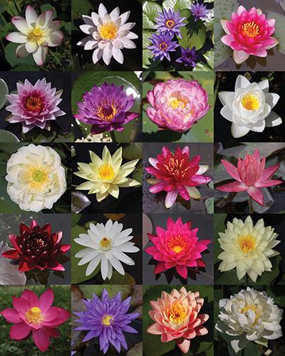 ninfee, fiori di loto, piante acquatiche
