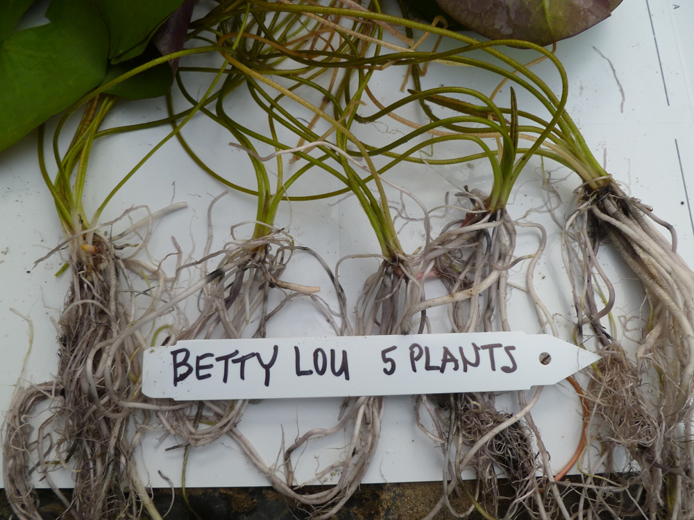 Betty Lou plants