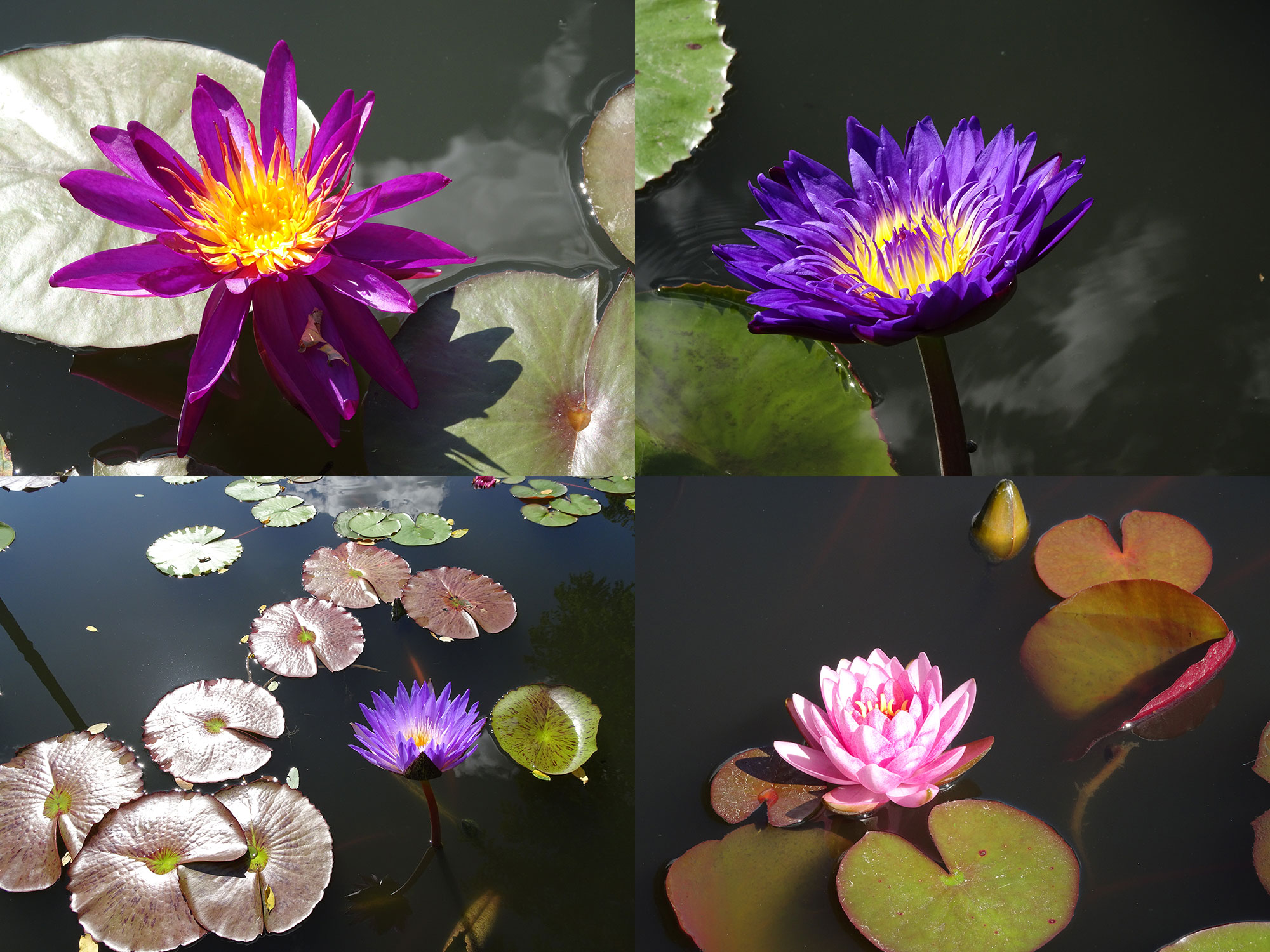 IWGS waterlily contest at Longwood gardens