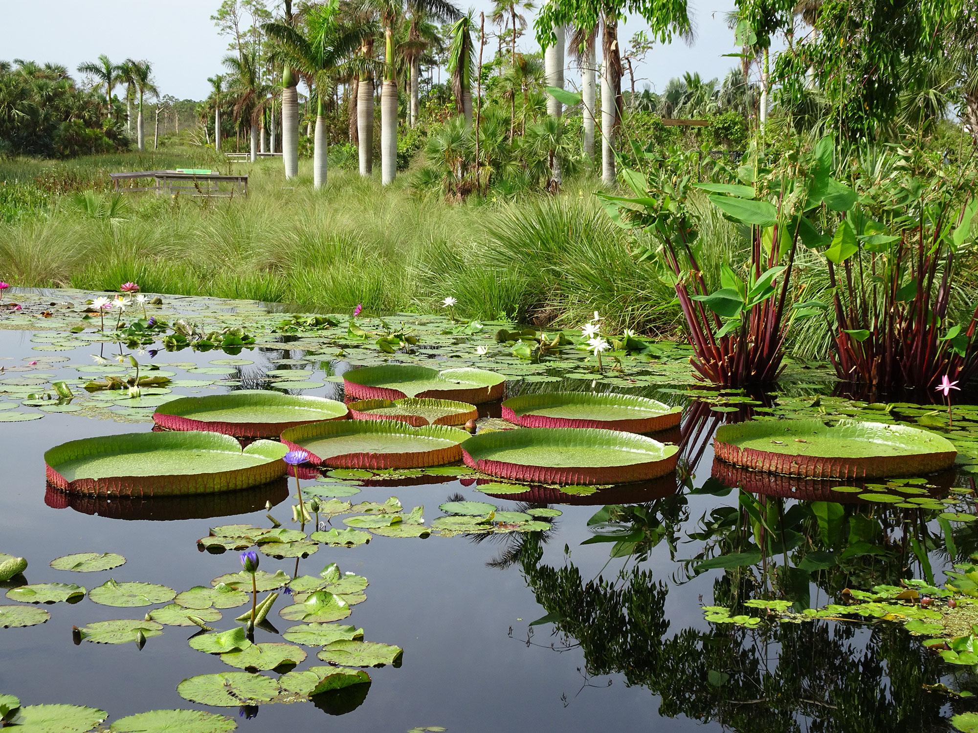 Victorias and tropicals at Naples Botanical Gardens