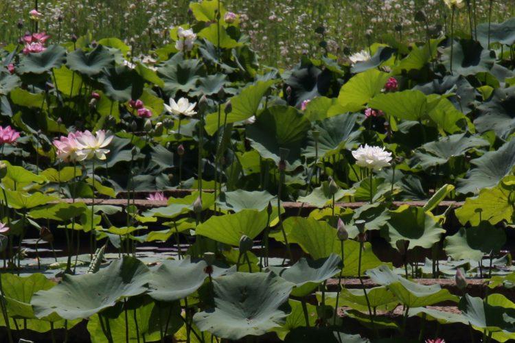 Gruppo fiori di loto nelumbo