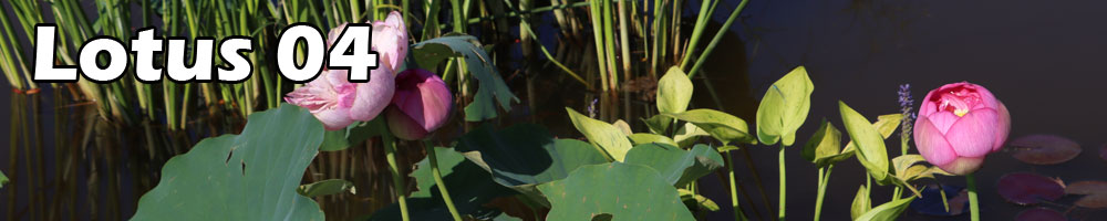 Contest lotus 04